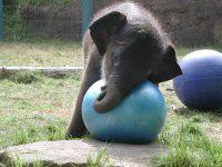 ゾウとボール